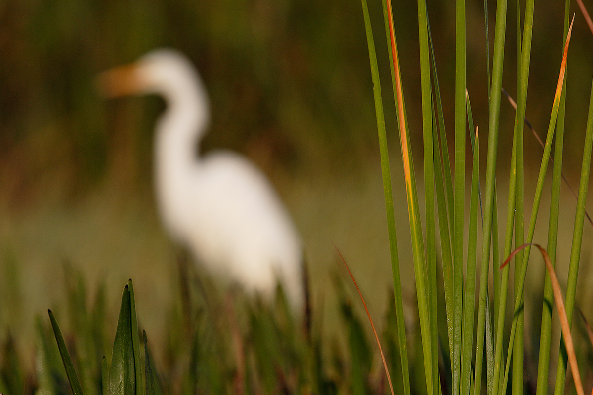 great-egret-oof-b-_36a8468-indian-lake-estates-fl