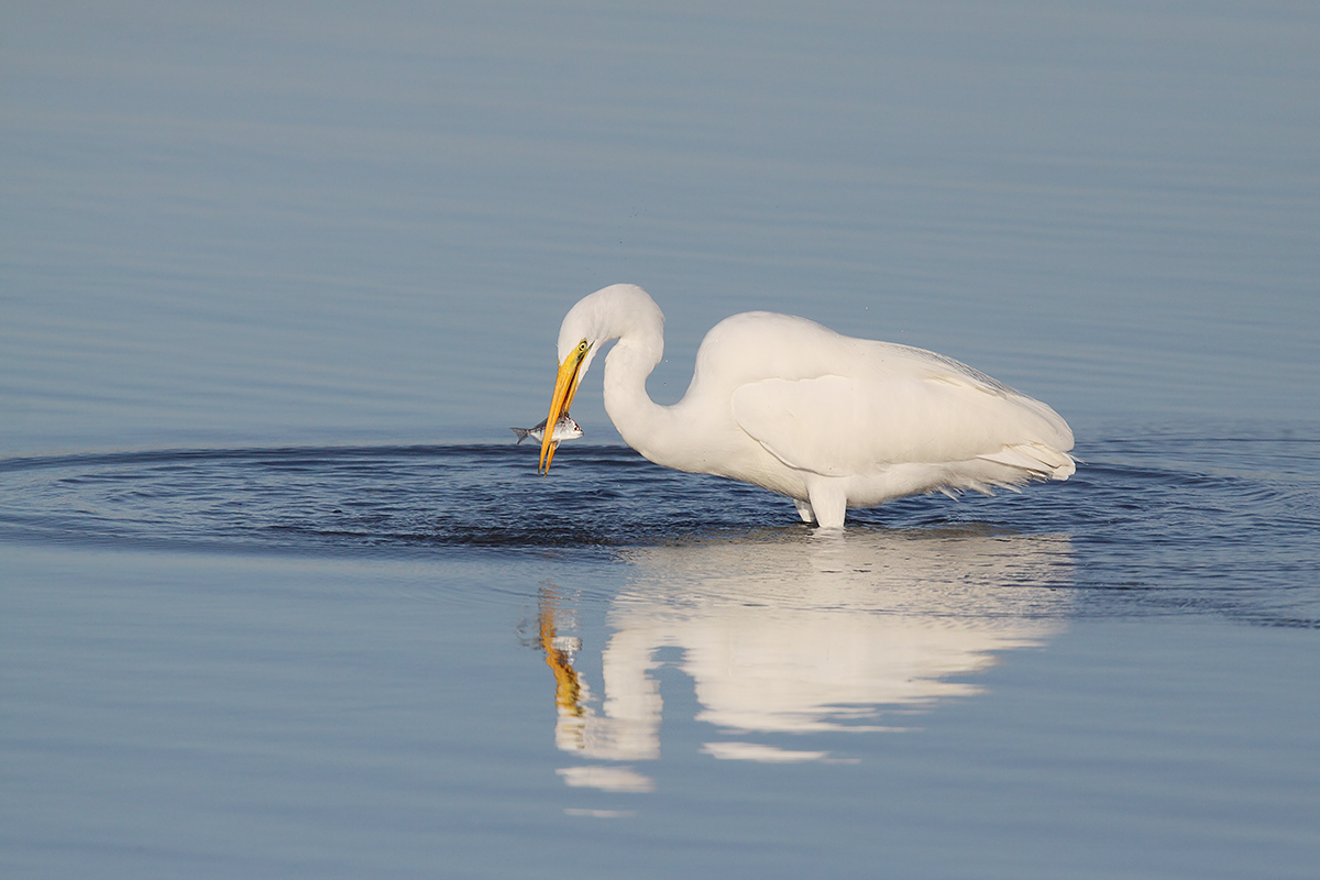 great-egret-with-pinfish-_mg_5679-ft-desoto-park-st