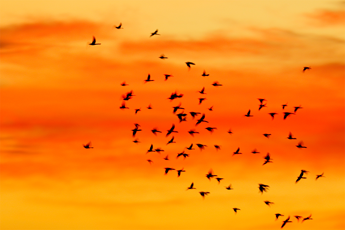 great-tailed-grackles-at-sunrise-_y8a0185-bosque-del-apache-nwr-san-antonio-nm