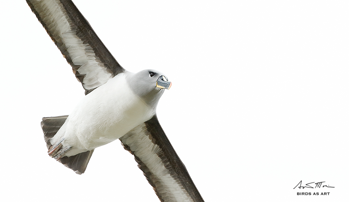 grey-headed-albatross-sig-tight-flight-_y5o1538-elsehul-south-georgia