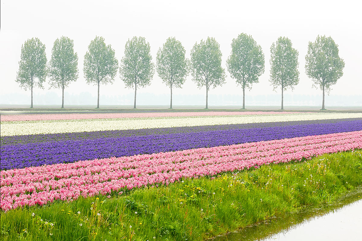 hyacinth-field-and-row-of-trees-impr-bkgr-airport-clean-up-_a1c8794-keukenhof-gardens-lisse-holland
