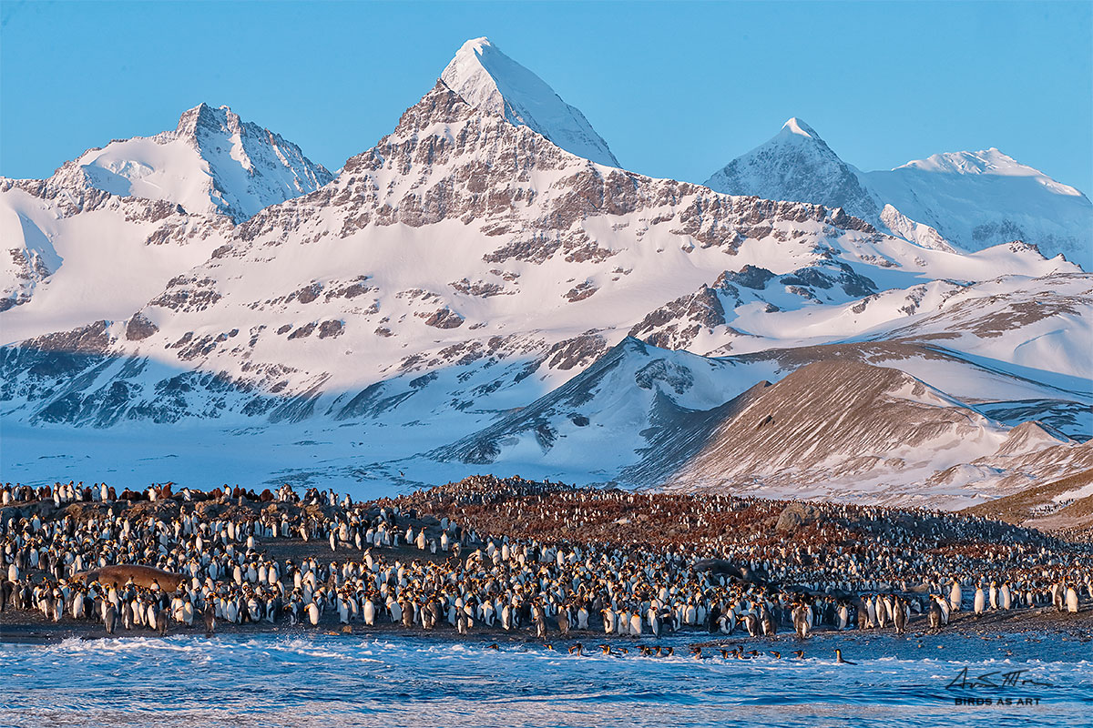 king-penguin-colony-in-early-morning-light