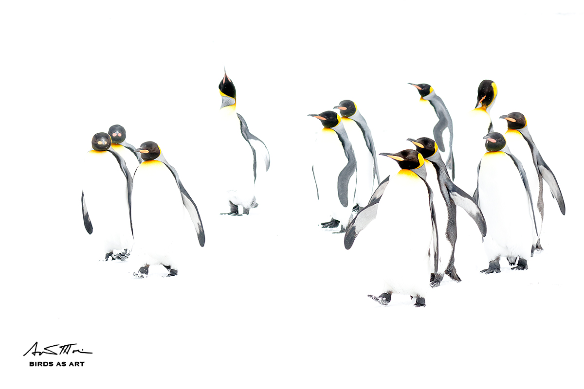 king-penguin-group-on-snowsign-high-key-_36a5088-fortuna-bay-south-georgia