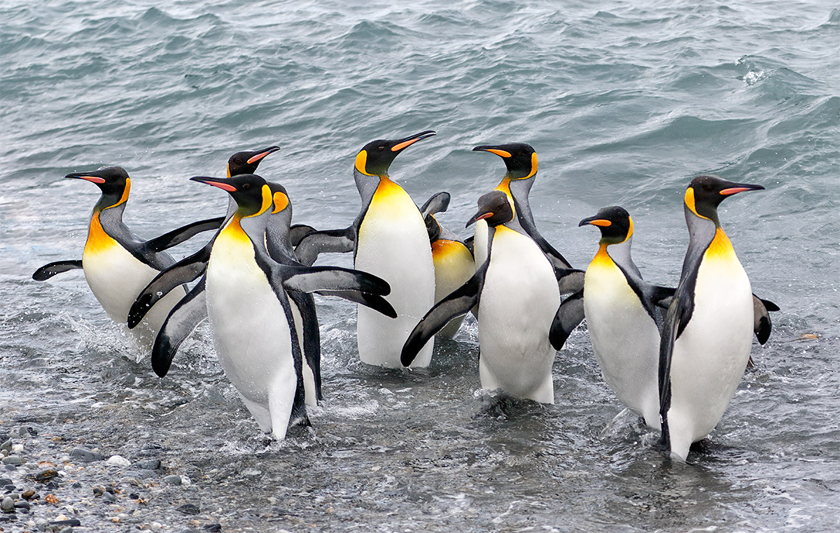 king-penguins-emerging-from-surf-_y8a2442-salisbury-plain-south-georgia