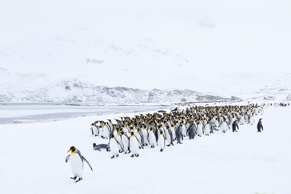 king-penguins-marching-_w5a4105-right-whale-bay-south-georgia