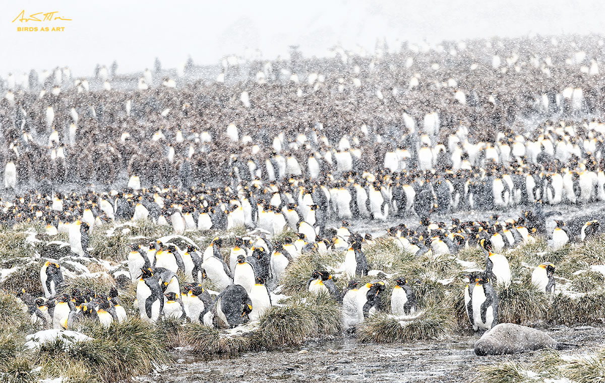 king-penguins-snow-falling-_y5o3018-gold-harbor-south-georgia