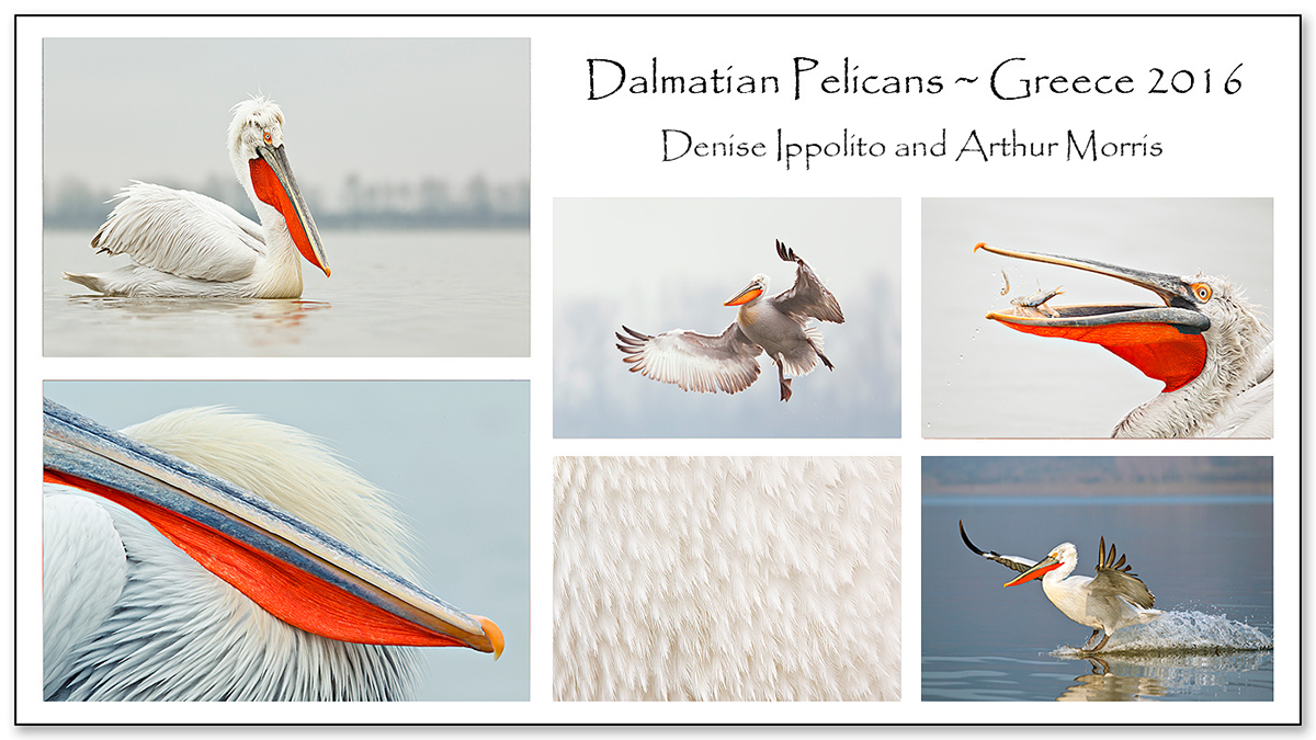 lake-kerkini-dalmatian-pelican-card