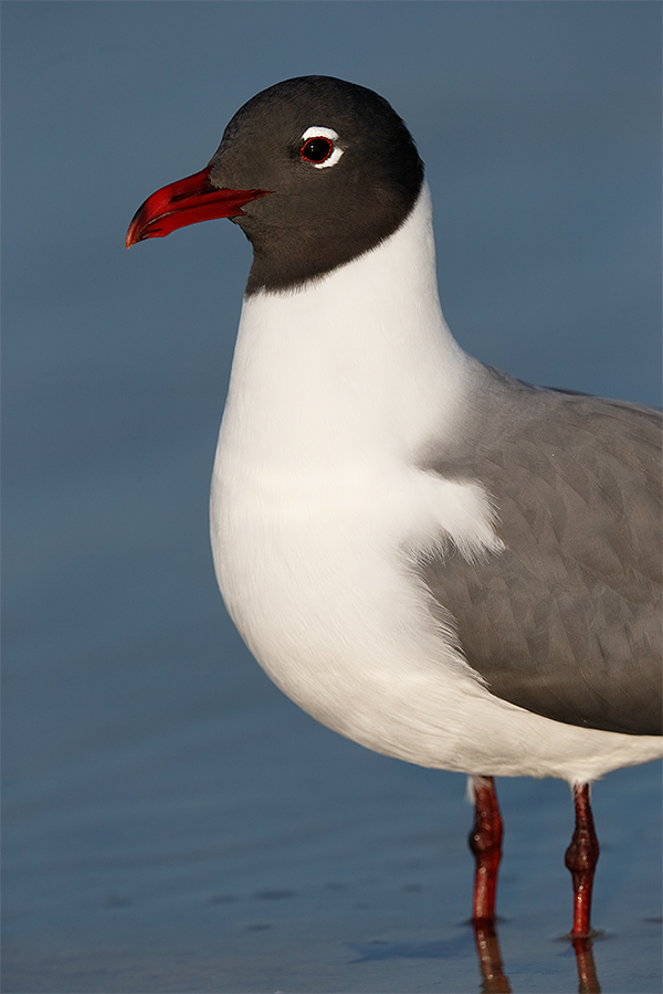 laughing-gull-vertical-front-end-portrait-_y7o4567-fort-desoto-park-fl