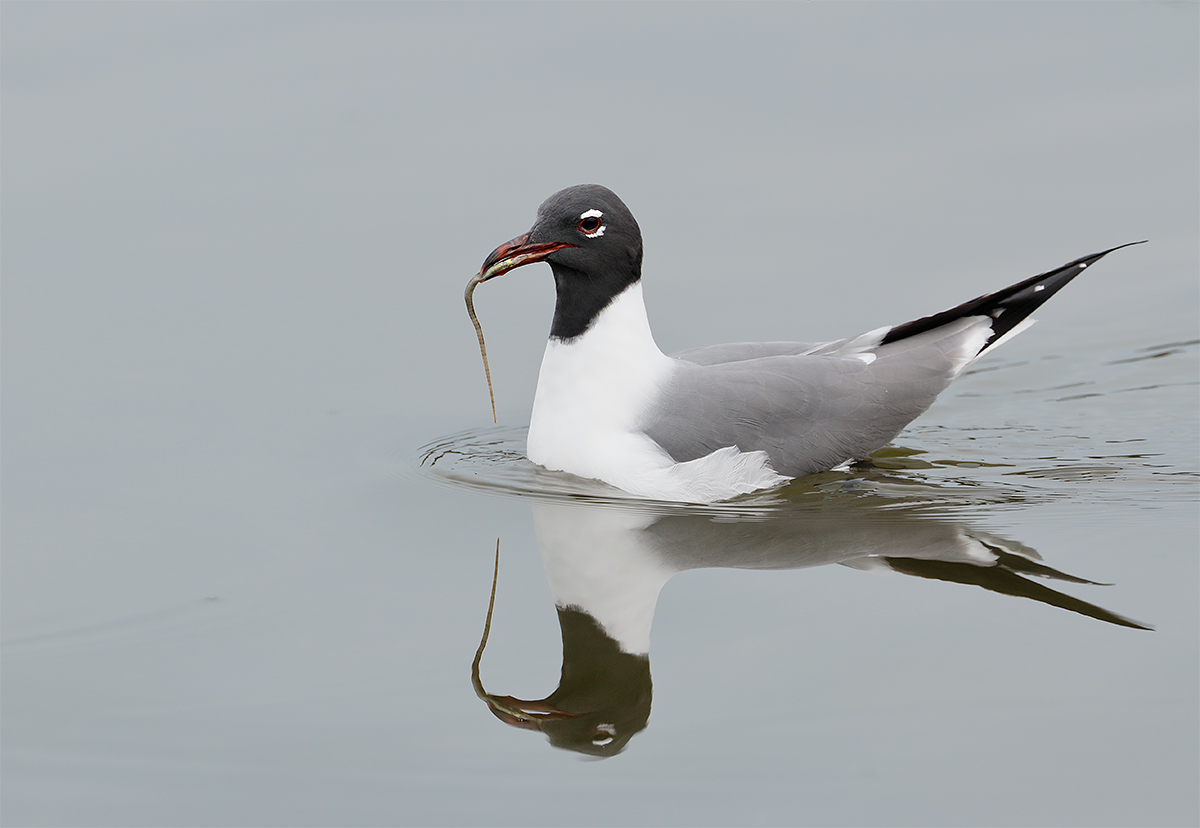 laughing-gull-with-pipefish-_y8a2016-fort-desoto-park-fl