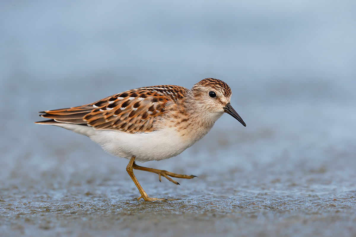 least-sandpiper-fresh-juvenal-plumage-_y7o5546-east-pond-jamaica-bay-wr-queens-ny