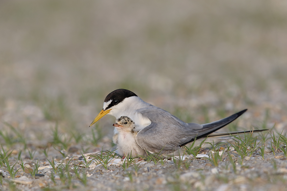 least-tern-w-3-day-old-chick-_y7o9634-jones-beach-li-ny