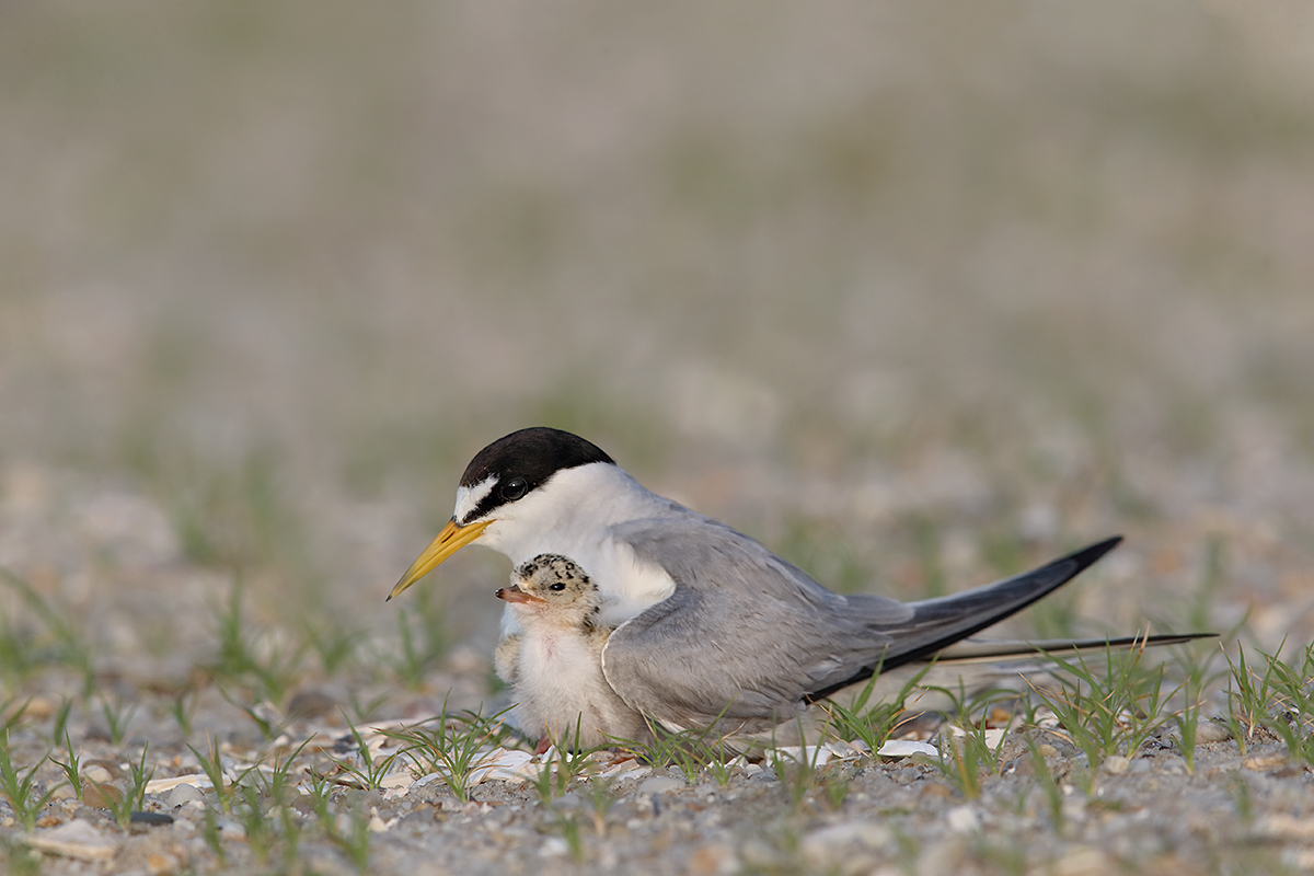least-tern-w-3-day-old-chick-leveled-_y7o9634-jones-beach-li-ny