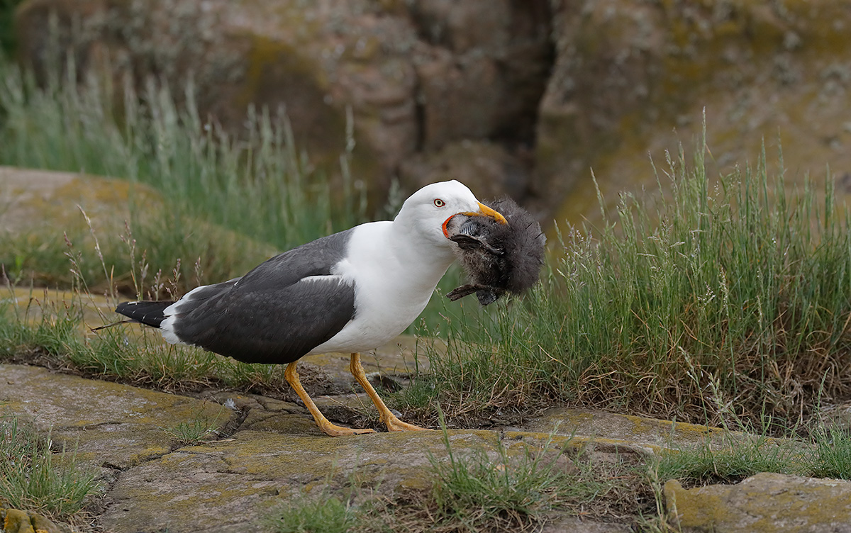 lesser-black-backed-gull-eating-baby-puffin-_a0i0054-seahouses-uk