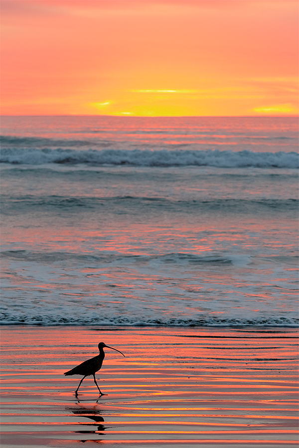 long-billed-curlew-at-sunset-wide-_y8a5366-morro-bay-ca_0
