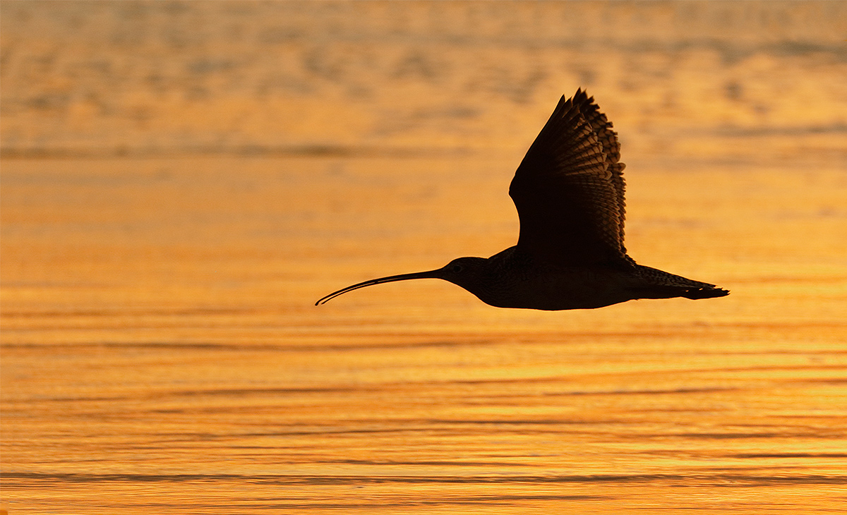 llong-billed-curlew-backlit-flight-level-_y8a5484-morro-bay-ca