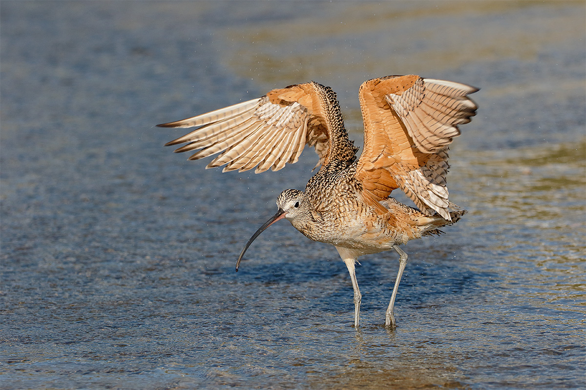 long-billed-curlew-flapping-after-bath-_y8a7583-morro-bay-ca