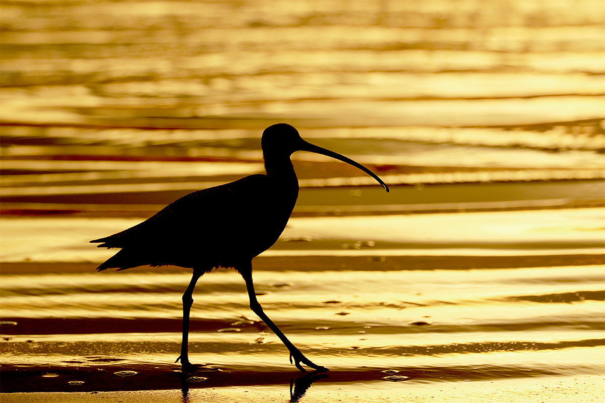 long-billed-curlew-golden-sunset-silh-_y8a5194-morro-bay-ca