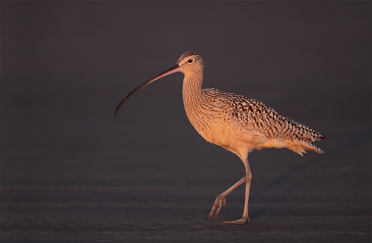 long-billed-curlew-last-rays-of-sunset-_mg_0824-morro-bay-cac
