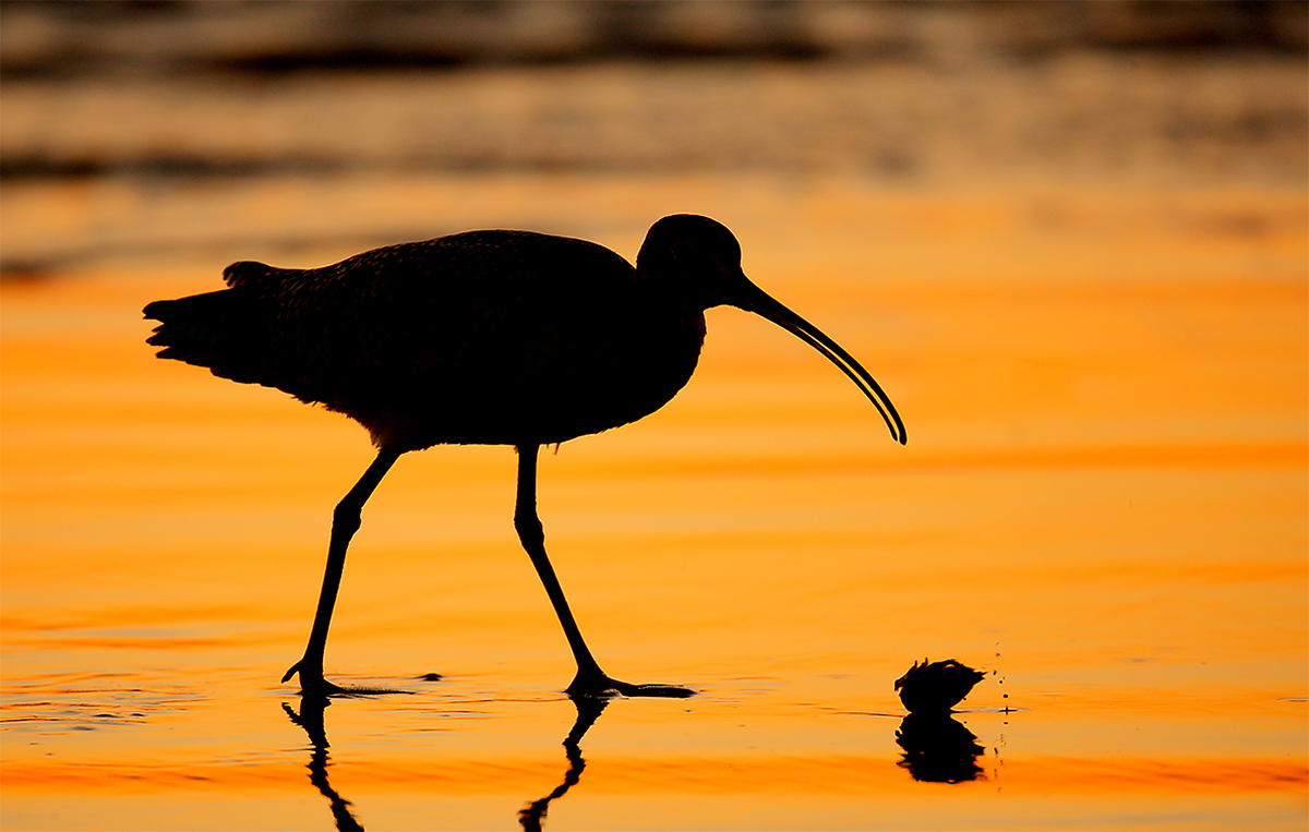 long-billed-curlew-silh-w-sand-crab-_d4i2111-morro-bay-cac
