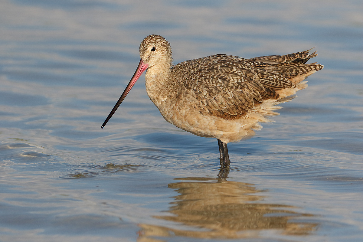 marbled-godwit-_36a7803-fort-desoto-county-park-pinellas-fl
