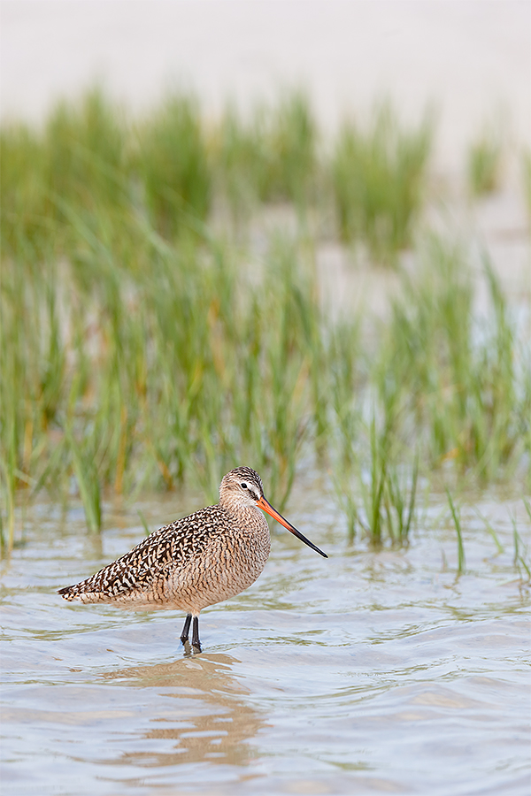 marbled-godwit-by-marsh-grasses-_y7o4183-fort-desoto-park-fl
