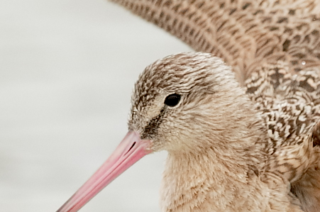 marbled-godwit-f200-percent-lapping-after-bath-_36a2435-indian-lake-estates-fl_0