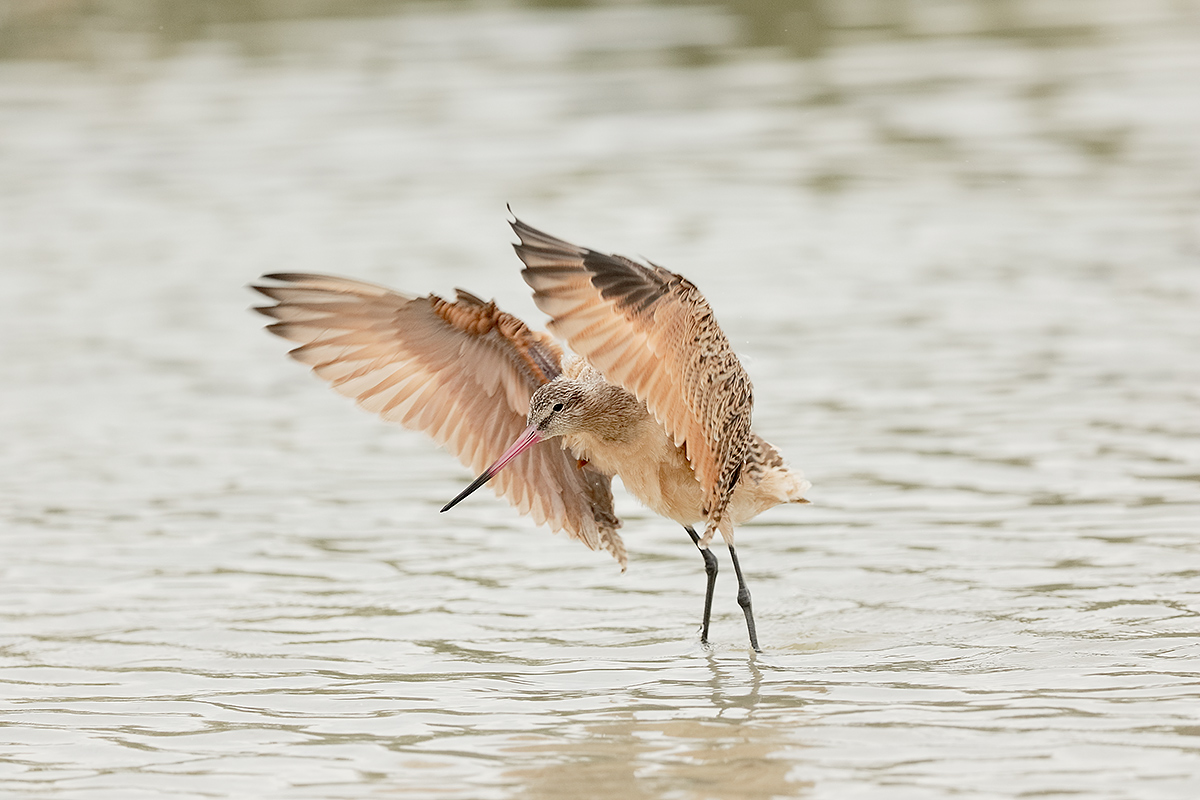 marbled-godwit-flapping-after-bath-_36a2433-indian-lake-estates-fl