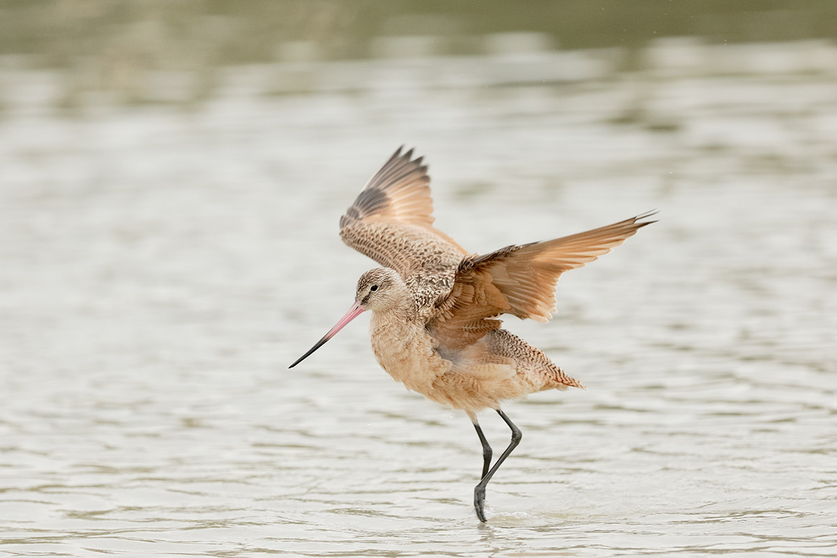 marbled-godwit-flapping-after-bath-_36a2435-indian-lake-estates-fl