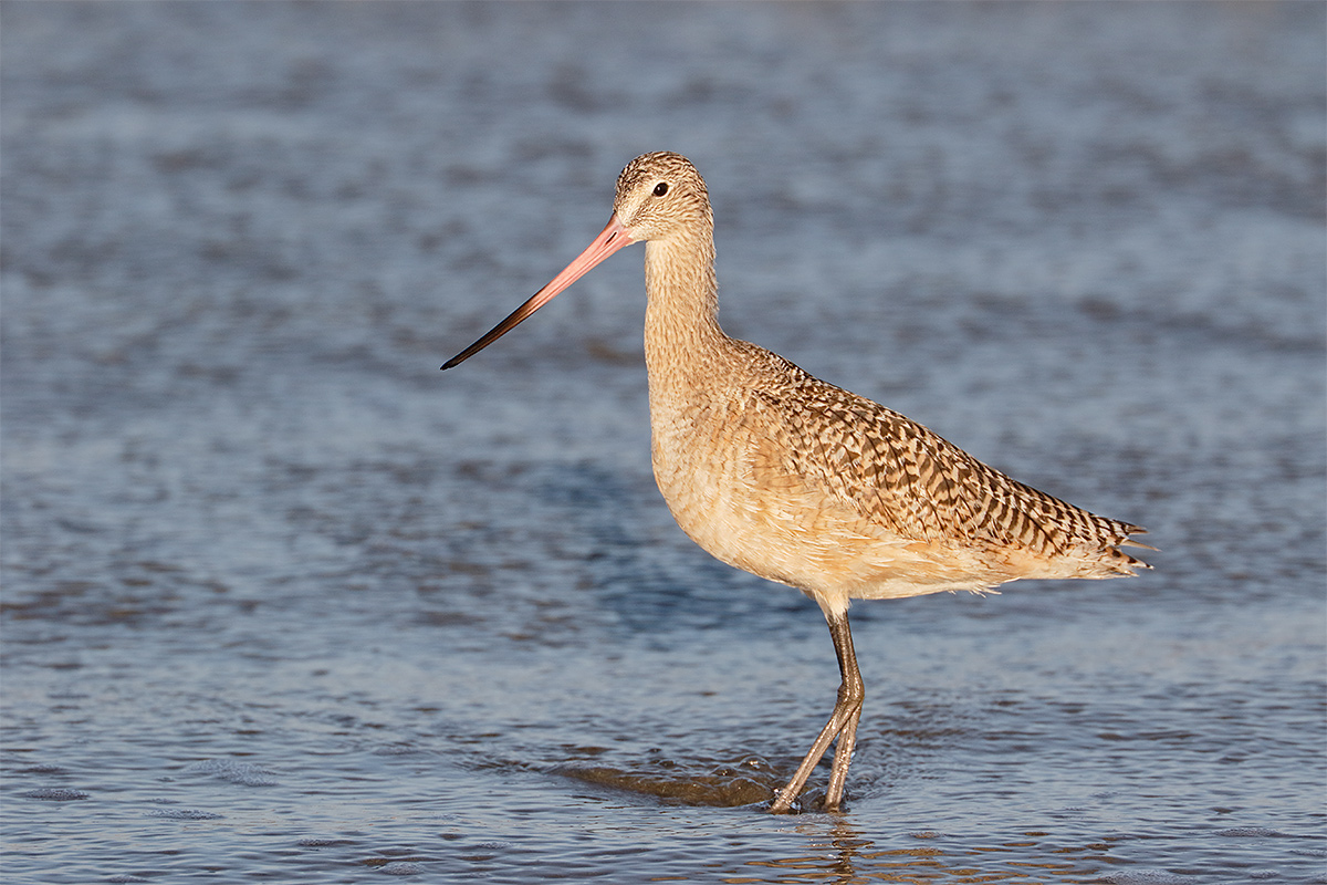 marbled-godwit-in-surf-_y8a0103-morro-bay-ca