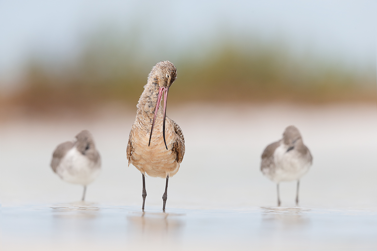 marbled-godwit-preening-2-willets-slepping-_q8r4800-fort-desoto-park-st-petersburg-fl