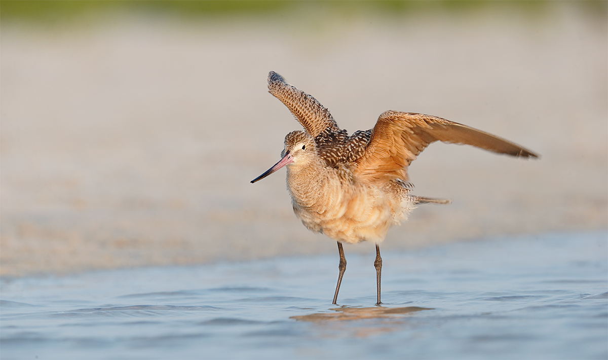 marbled-godwit-ruffling-feathers-_y7o5145-fort-desoto-park-fl