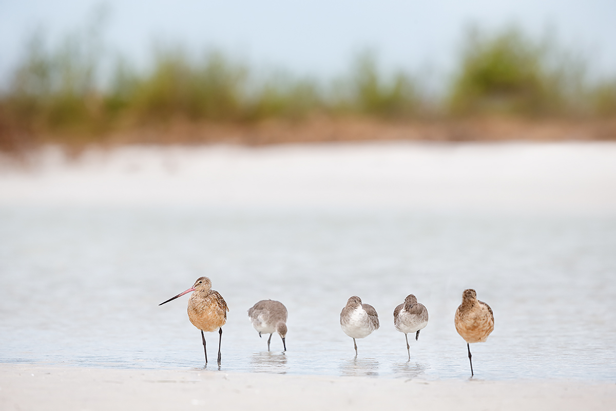 marbled-godwits-and-willets-_q8r4707-fort-desoto-park-st-petersburg-fl_0
