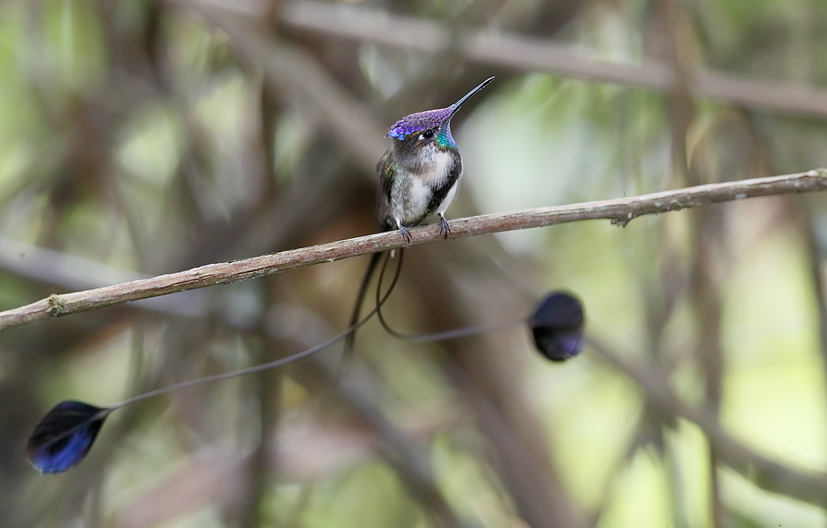 marvelous-spatuletail-male-side-view-_a0i3646-pomacochas-peru