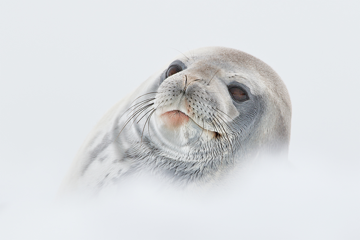 mhv-182072-mhv-01-01-15-weddell-seal-in-heaven