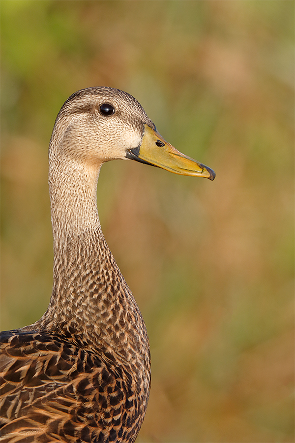 mottled-duck-1200mm-indian-lake-estates-fl