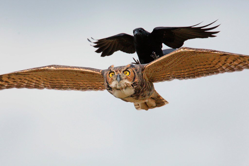 neiger-crow-and-owl