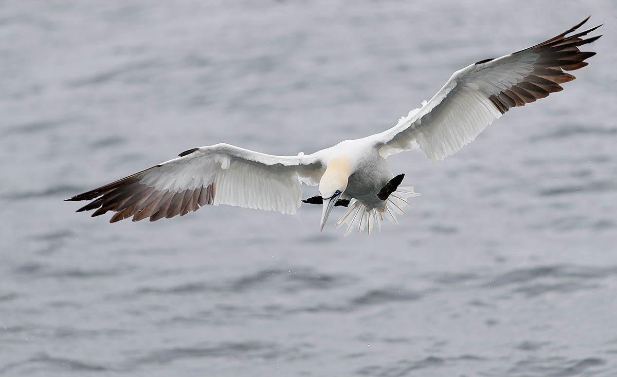 norther-gannet-mid-dive-_a0i5132-bass-rock-scotland
