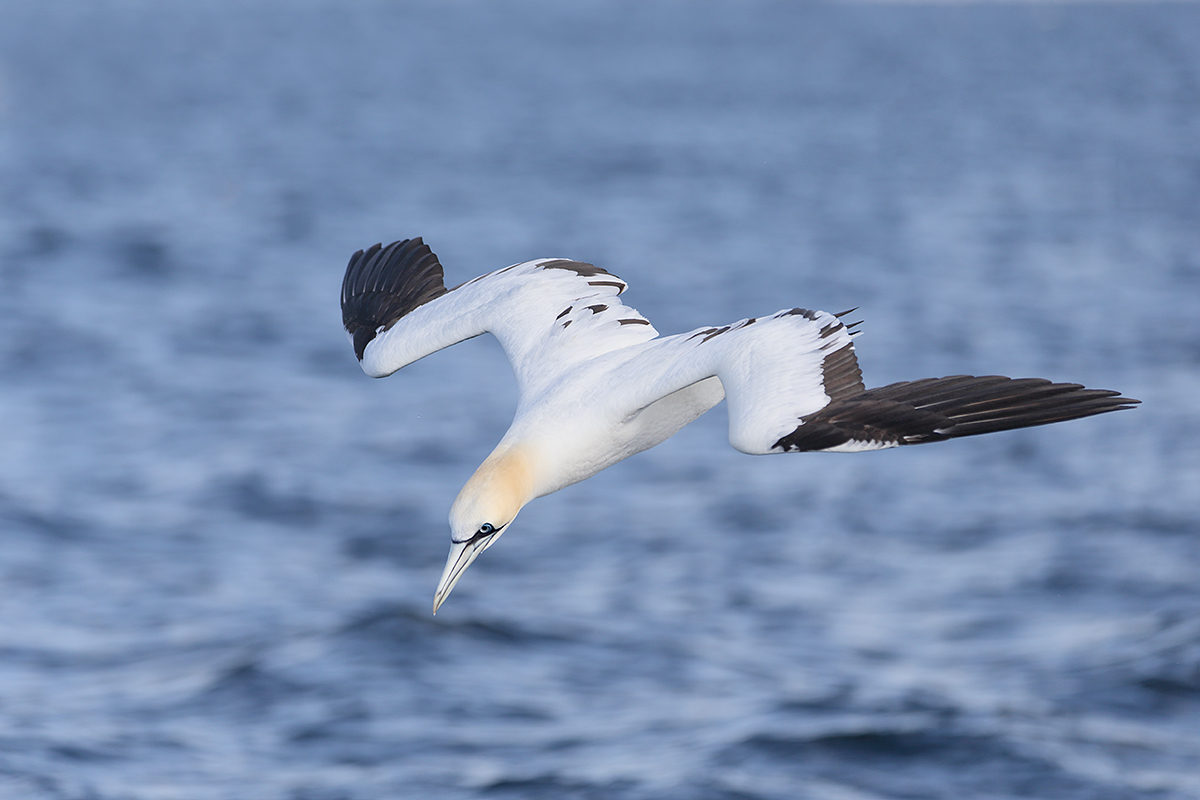 northern-gannet-diving-_y5o6368-bass-rock-scotland