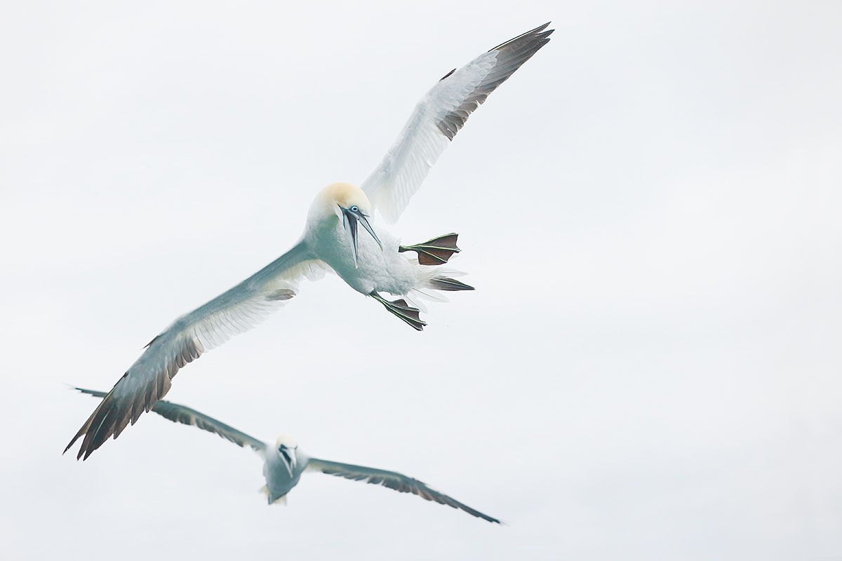 northern-gannet-getting-ready-to-dive-_y7o5753-bass-rock-scotland