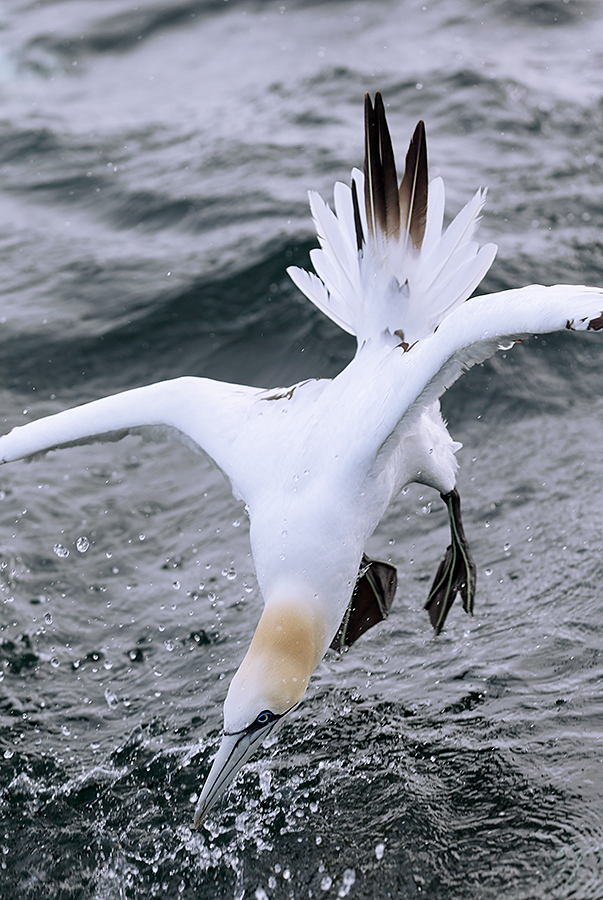 northern-gannet-vertical-dive-_y5o6059-bass-rock-scotland