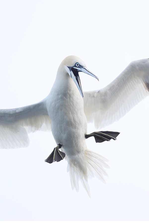 northern-gannet-vertical-screaming-body-_y5o6128-bass-rock-scotland