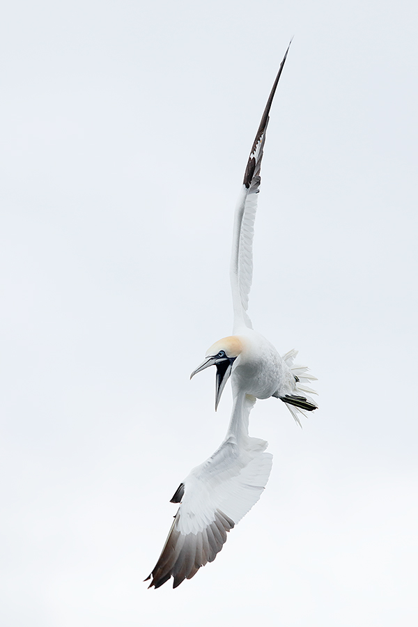 northern-gannet-vertical-start-of-dive-_t0a1667-bass-rock-scotland