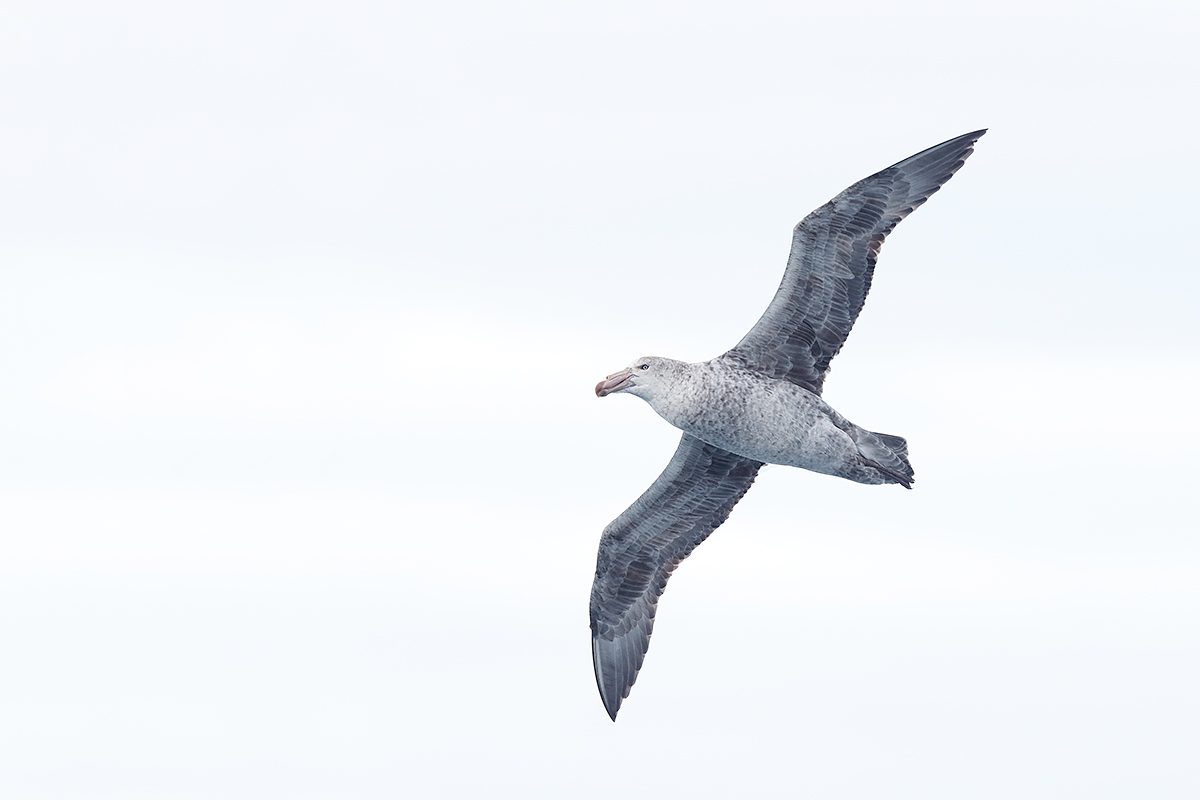 northern-giant-petrel-flight-_y7o1454-scotia-sea-between-the-falklands-so-georgia