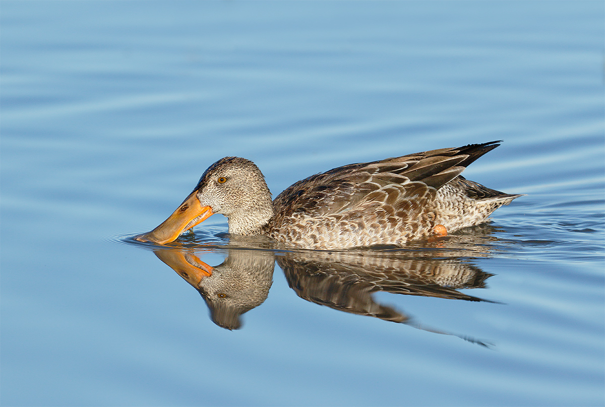 northern-shoveler-layers-3y8a1349-bosque-del-apache-nwr-san-antonio-nm