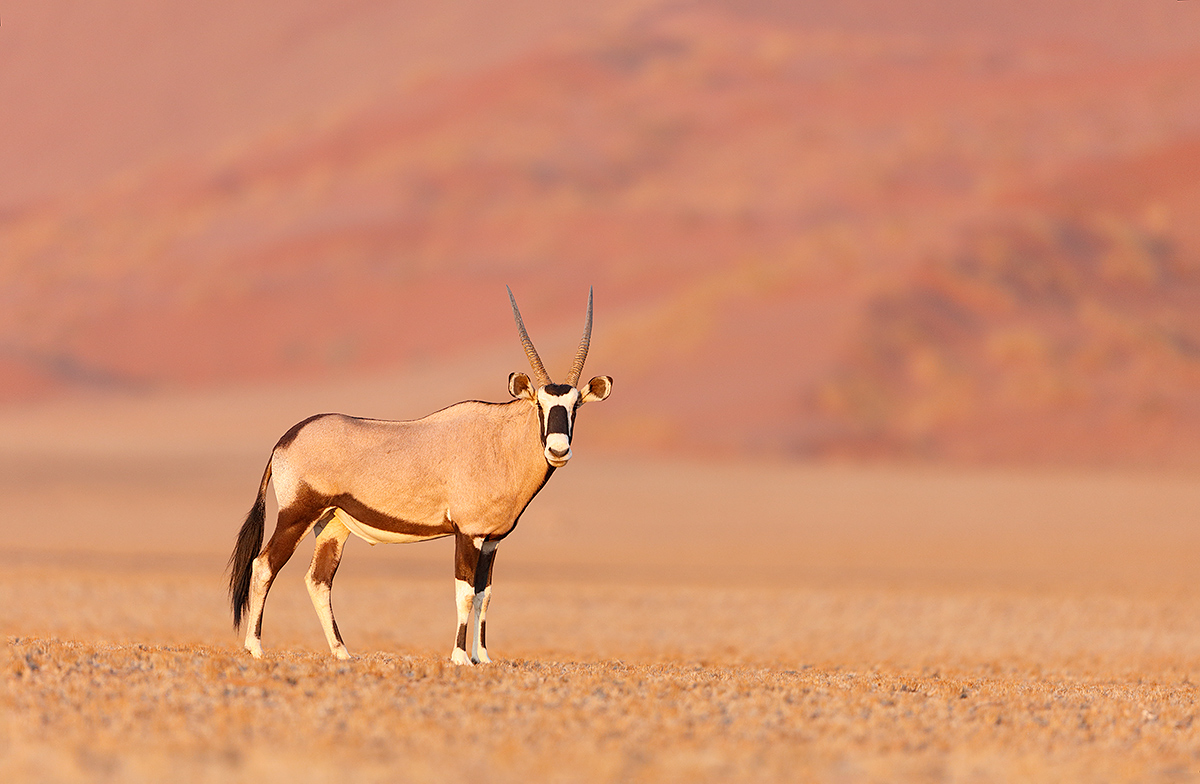 oryx-and-red-suand-dune-_t0a1986-namib-naukluft-national-park-namibia