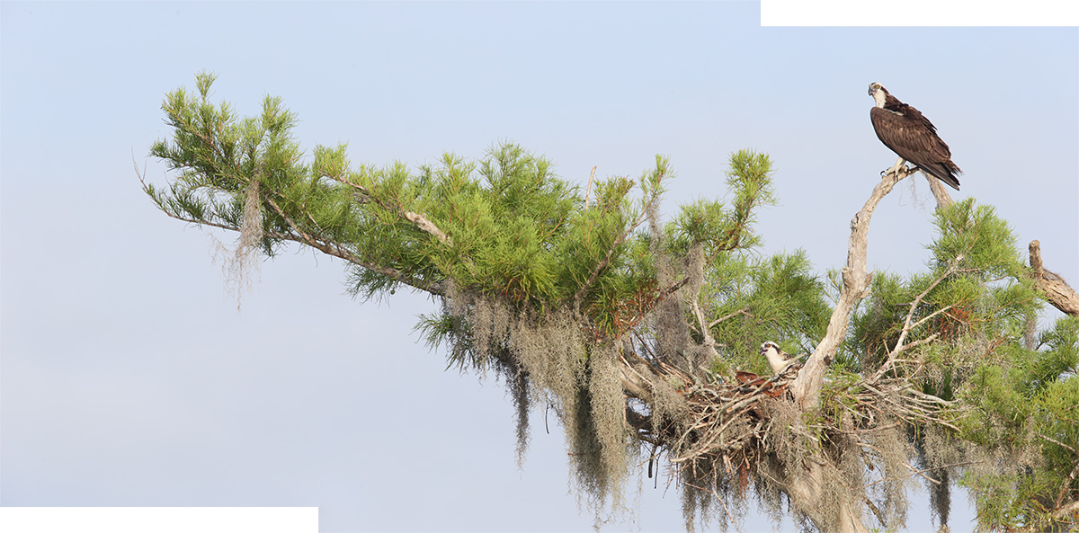 osprey-_panorama-in-progress-_y7o4148-lake-blue-cypress-indian-river-county-fl