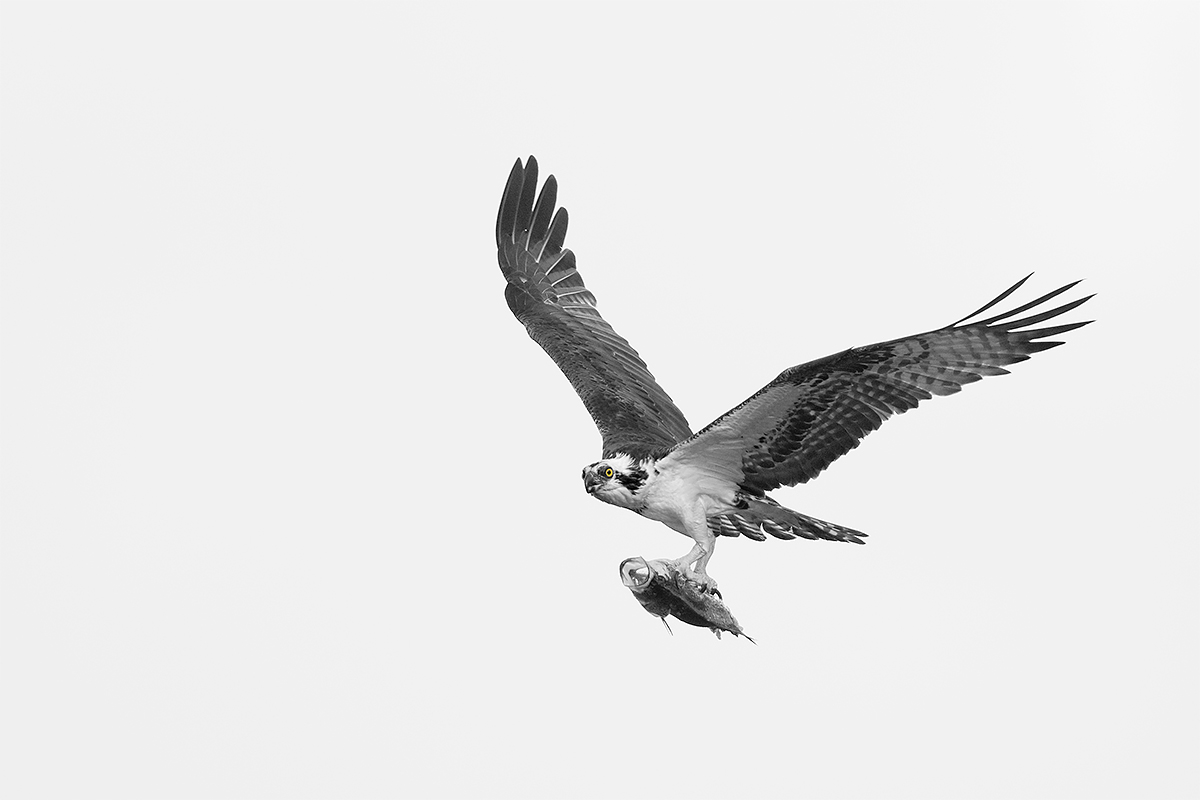 osprey-blacker-bw-normal-sep-w-eye-paiinted-back-in-_y8a3038-lake-blue-cypress-fl