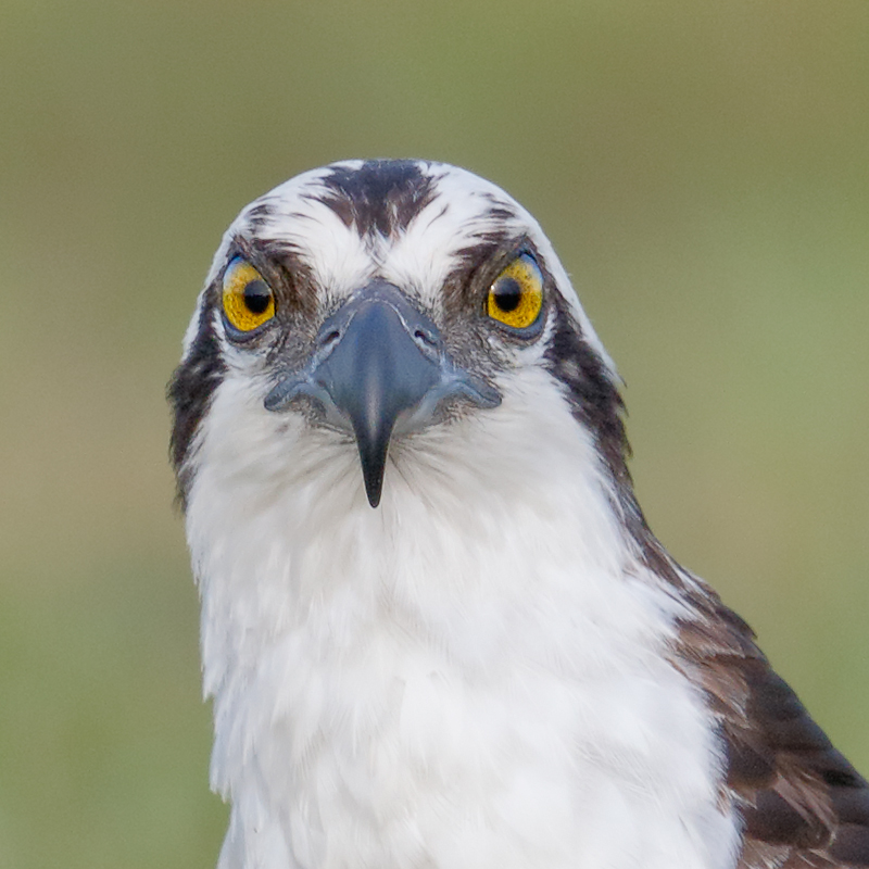 osprey-head-800-px-sq-_y8a3474-indian-lake-estates-fl