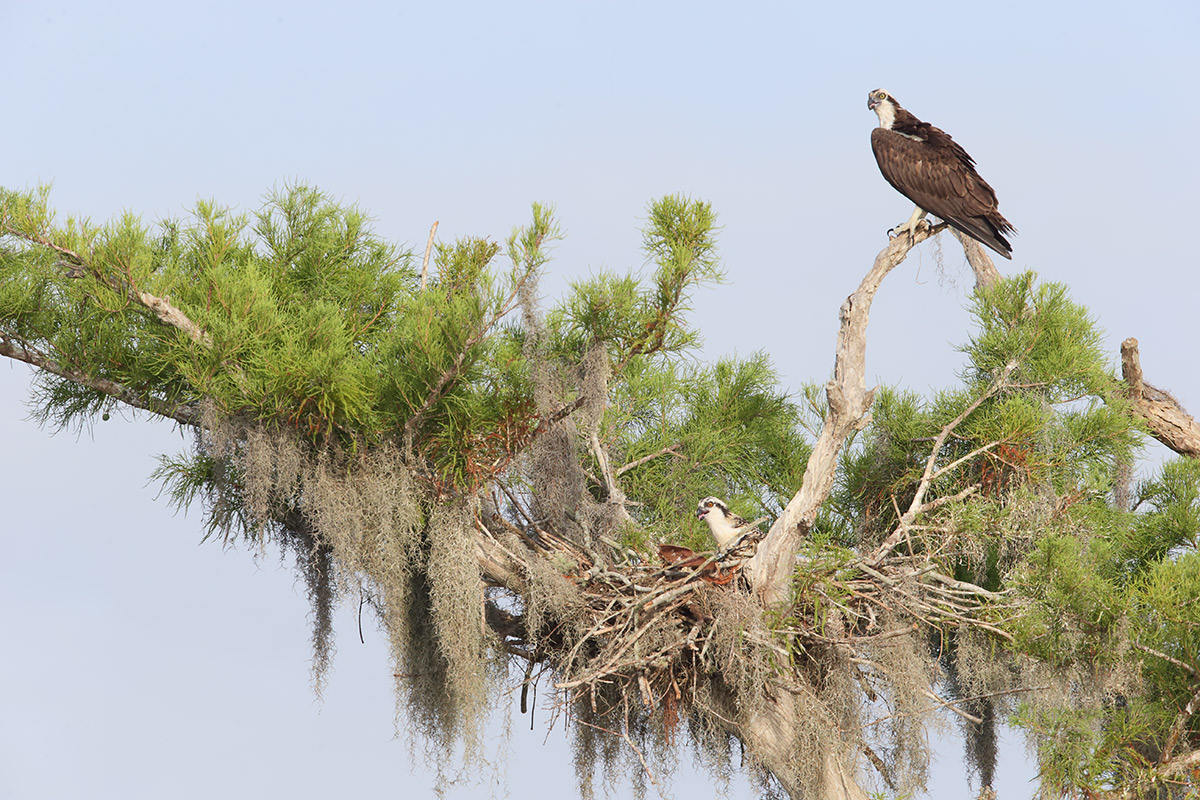 osprey-right-orig-this-one-_y7o4148-lake-blue-cypress-indian-river-county-fl