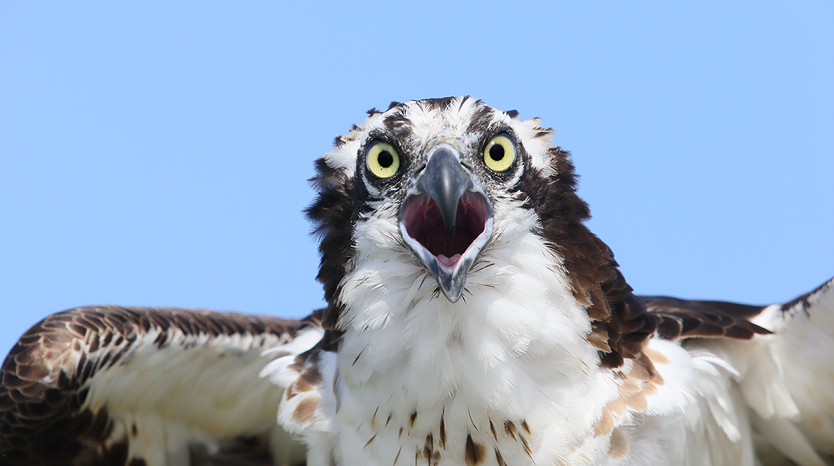 osprey-screaming-_y7o4499-lake-blue-cypress-indian-river-county-flE
